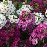 alyssum seed - 50 seeds pack CLEAR CRYSTAL MIX SWEET FRAGRANT ALYSSUM FLOWER SEEDS PERENNIAL