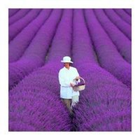 Wholesale 50seeds bag french provence lavender seeds very fragrant organic lavender seeds plant flower Flower seeds Home Garden Bonsai