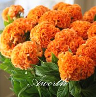 annual flower plants - Giant Yellow Cockscomb Flower Seeds Easy growing DIY Home Garden Annual Flowering Plant High Germination Rate