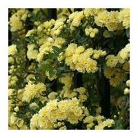 bank seed - Heirloom Lady Banks Yellow Climbing Rose Flower Seeds Professional Pack Seeds Pack Old fashioned Strong Fragrant