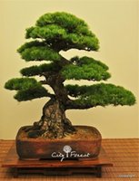 Cheap 50 Japanese Black Pine Seeds for DIY Home Garden Bonsai Easy to grow from seeds