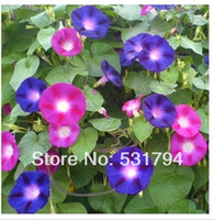 Wholesale piece lotBig morning glory seeds morning glory flowers more easy for balcony railing cultivation