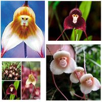 Wholesale 2016 hot selling Potted Peru Monkey Face Orchid Seeds Orchis Simia Senior Phalaenopsis Bonsai Plants Flower Seeds