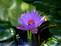 Wholesale 5PC Water blue lotus seed Hydroponic flowers small water lily seeds mini lotus seeds bonsai seeds Aquatic plants