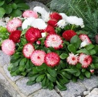 Wholesale Popular Ice Plant Seeds Daisy Seeds Pieces Per Package Multi Colored Beautiful Seeds Two weeks to your Home