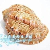 aquarium photography - 5 cm platform Home Furnishing aquarium snail natural carambola decorative Mediterranean wedding photography props