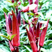 Wholesale Red Okra Seeds Heirloom DIY Home Garden Vegetable Seeds for planting
