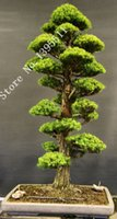 Wholesale 28PCS BAG rare tree seeds for home bonsai JAPANESE CEDAR Semillas bonsai seeds