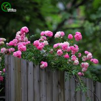 annual roses - Pink Climbing Rose Seeds Bonsai Seeds Garden Plants Flower Seeds Annual Herb Particles z011