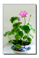 aquatic plants sale - 5 Bag Perennial Aquatic Plants Flower Bowl lotus Seeds Original Package Novel Plant Water Flower Sale Seller bags per
