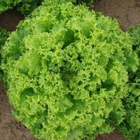 Wholesale Garden Lettuce Seeds Vegetables Bag The Original Large Fast Growing Lettuce Home Garden Plant Seeds