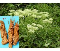 angelica plant - 20seeds bag Angelica seeds of spices in the four seasons of Chinese herbal medicine planting