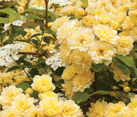 bank seed - 3000pcs a Set Lady Banks Yellow Climbing Rose Flower Seed Home Garden Diy Reasonable Choice For You Good Quality