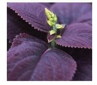 basil leaves - 2000pcs a set Purple color basil leaves vegetable seed HOME GARDEN DIY GOOD GIFT FOR YOUR FRIEND Please cherish it