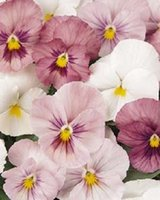 annuals shade - NEW seeds pack PANSY PANOLA PINK SHADES FLOWER SEEDS ANNUAL