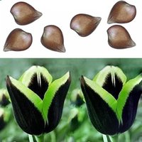 beautiful bulbs - 2Pcs Rare Green Edge Black Dragon tulip bulb Not Seed Beautiful Home Decor New