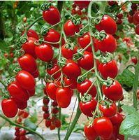 Wholesale 50 Bonsai Tomato seeds Mini Cherry Potted Sweet Fruit Vegetable Organic Fresh