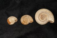 Wholesale Rare rare natural white fossil snail fossil collection of home accessories birthday gift