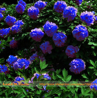 beautiful garden plants - 5 Seeds Pack Rare Chinese Dark Blue Peony Flower Plant Seedling Seeds Strong Fragrant Beautiful Bush Flower for Balcony Garden