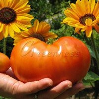 beefsteak tomato seeds - Beefsteak Tomato Seeds Vegetable Great Addition to Your Garden