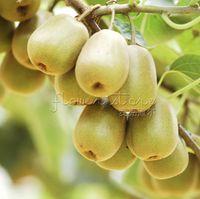 actinidia chinensis - 100 Hardy Kiwi Fruit Seeds Actinidia chinensis TT418