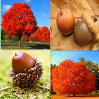 acorn trees - Red Oak Tree seeds Quercus Alba Shade Acorn Seeds AA
