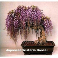 Cheap Wisteria Flower 10 Pcs Seeds for Bonsai or yard tree Ornamental Vine Climber Best Vines for Containers