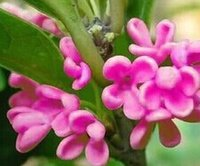 al por mayor semillas osmanthus-200pcs un árbol púrpura determinado del osmanthus del árbol siembra el JARDÍN HOME DIY BUEN REGALO PARA SU AMIGO Aprecie por favor él