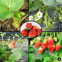 Wholesale 100PCS giant Climbing Strawberry Seeds Fruit Seeds For Home amp Garden DIY rare seeds for bonsai