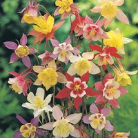 Wholesale 50 Columbine Aquilegia Flower Seeds