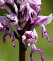 Wholesale Italian man orchid Exotic plants Orchis italica seeds Pyramid monkey orchid Home Garden Bonsai Balcony DIY