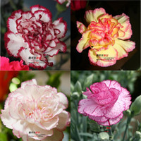 Wholesale 2016 Carnation Seeds Enfant Nice Kinds Of Aromatic Flowers Yi family Seed Carnation Flower Seeds Potted Balcony Seasons Sowing
