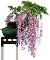 Wholesale Wisteria Vine Flower Seeds for DIY Home Garden Flower Bonsai or yard tree