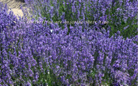 Wholesale Lavender buds organic lavender flower buds french dried lavender buds lavender flower A super grade great quality natural lavender buds