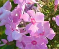 200pcs набор розовый цвет Вербена hybrida Voss семя цветка розовый цвет дома сад DIY ХОРОШИЙ ПОДАРОК ДЛЯ ВАШЕГО ДРУГА Пожалуйста лелеять