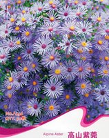 alpines plants - Alpine Aster Seeds Alpinum Asteraceae Flower Garden Plants A236