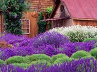 Wholesale 100 seeds pack French Provence Lavender Seeds Very Fragrant