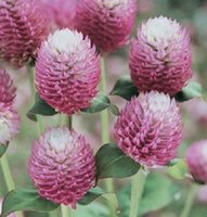 annual roses - 40 seeds pack BI COLOR ROSE GOMPHRENA FLOWER SEEDS ANNUAL