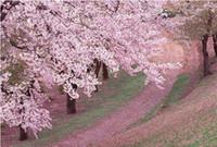 Wholesale 20pcs pack Cherry Blossoms tree flower Seeds kinds garden plant seeds Bonsai tree Decoration plant