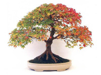 Wholesale 20pcs BONSAI CANADIAN MAPLE TREE SEEDS MINI PLANTS NEW LIVE FRESH SEEDS DIY HOME GARDEN SHIPS