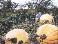atlantic giant seeds - GIANT PUMPKIN SEEDS DILL S ATLANTIC GIANT Pound garden decoration plant L40
