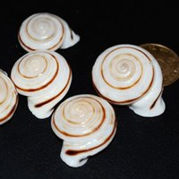 aquarium photos - Natural conch conch snails snail delicate specimens platform DIY decorative wedding photo Aquarium