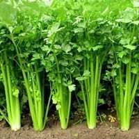 Wholesale 200pcs parsley seeds organic coriander Vegetables seeds Bonsai plants for home garden supplies