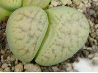 avocado flowers - 50pcs a Set L karasmontana ssp eberlanzii Avocado Cream c370a flower seed Home Garden Diy Reasonable Choice For You Good Quality
