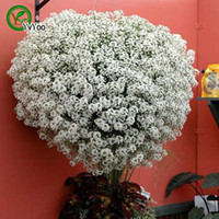 alyssum plant - Sweet Alyssum Seeds Rare Flower Seeds DIY Home Garden plant Easy to Grow Particles H022