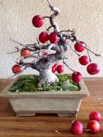 apple tree plants - bonsai apple tree For Garden Plant Fresh Fruit Seeds