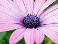 2000шт в набор красивый розовый цвет цветок ромашка семена дома сад DIY хороший подарок для вашего друга Пожалуйста, лелеять