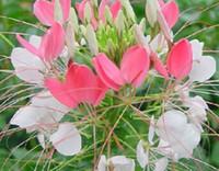 500pcs Набор пьян бабочка цветок семена белый розовый цвет дома сад DIY хороший подарок для вашего друга Пожалуйста, лелеять