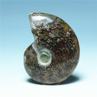 ammonites fossils - Natural Fidelity Spot Color Screw Fossil Leaf Ammonites Conch Ancient Extinct Life Fossil Original Stone Animal Fossil Bring