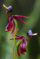 Wholesale 100 Hotsale Australia Flying Duck Orchid Seeds Duck shaped Flower Seeds Gifts For Home and Garden Decoration